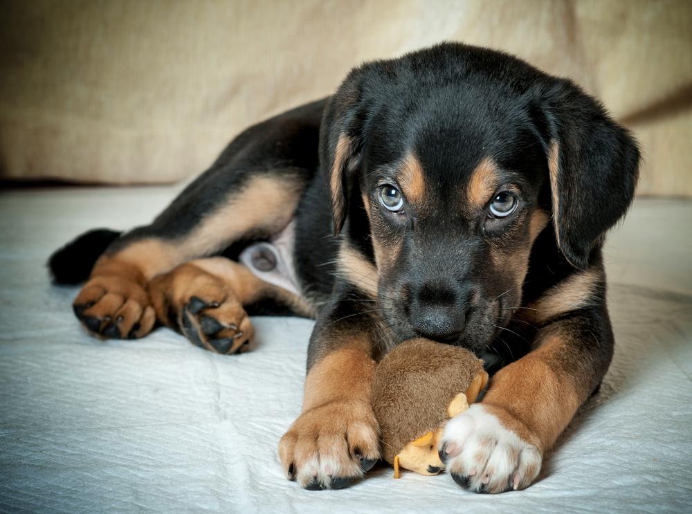 štěně male ochrana hračka