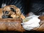 Jak ochránit nábytek před psem